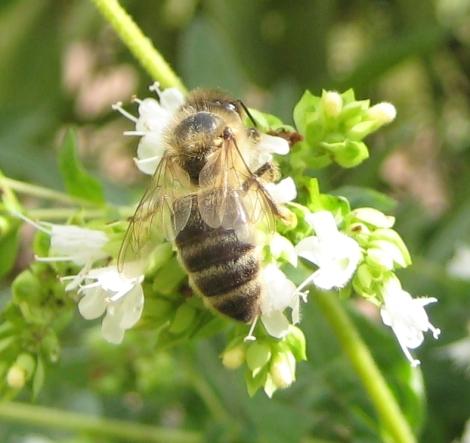Bee on white oregano flower
