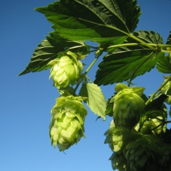green hops against a clear blue sky