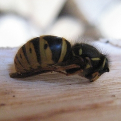 a wasp curled up on a wooden log